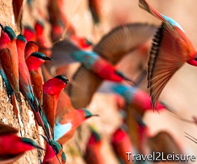 Carmine Bee-Eaters, South Luangwa, Time + Tide